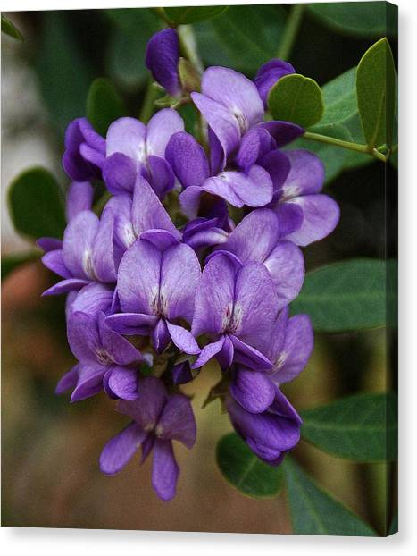 Texas Mountain Laurel Canvas Print