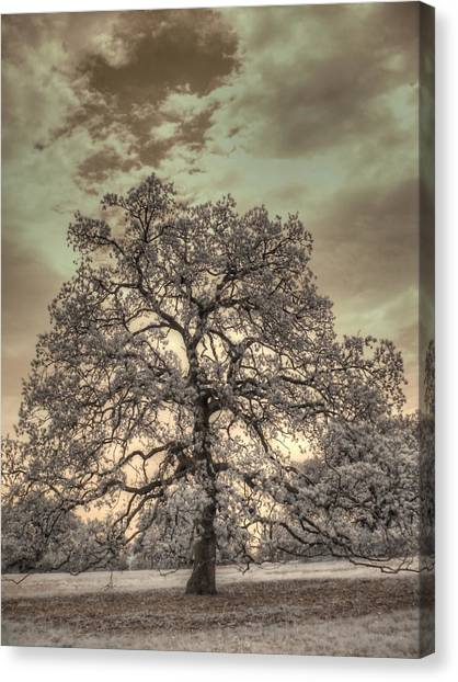 Joni Mitchell Canvas Print - Texas Oak Tree by Jane Linders