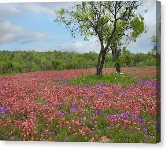 Phlox Canvas Print - Texas Paintbrush And Pointed Phlox by Tim Fitzharris