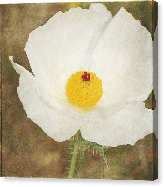 Texas Prickly Poppy Wildflower Canvas Print