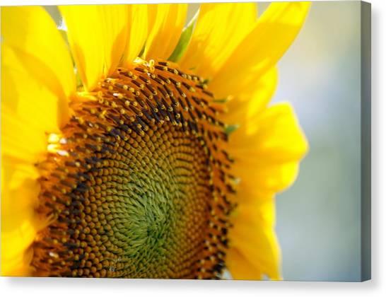 Texas Sunflower Canvas Print