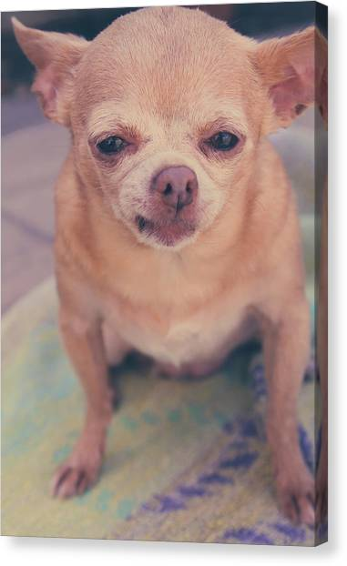 Chihuahuas Canvas Print - That Little Face by Laurie Search