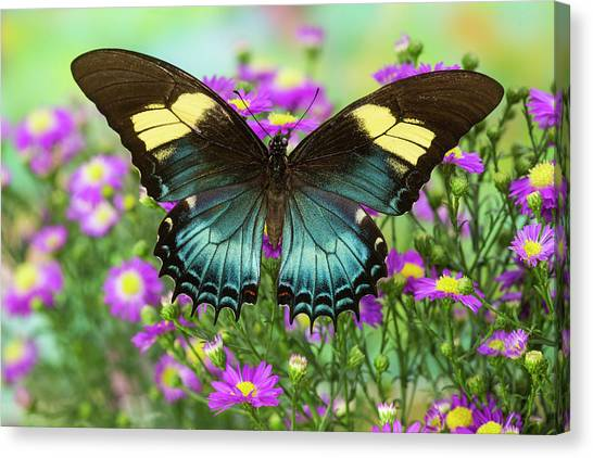 The Androgeus Swallowtail, Queen Page Canvas Print by Darrell Gulin