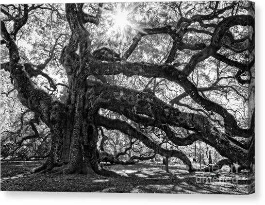 The Angel Oak Bw Canvas Print