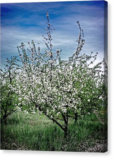 The Apple Tree Blooms Canvas Print