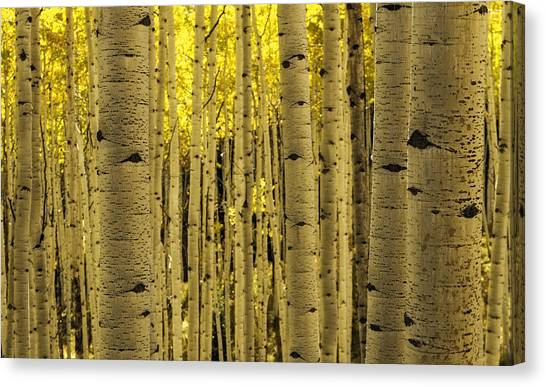 The Aspen Tree Forest Canvas Print
