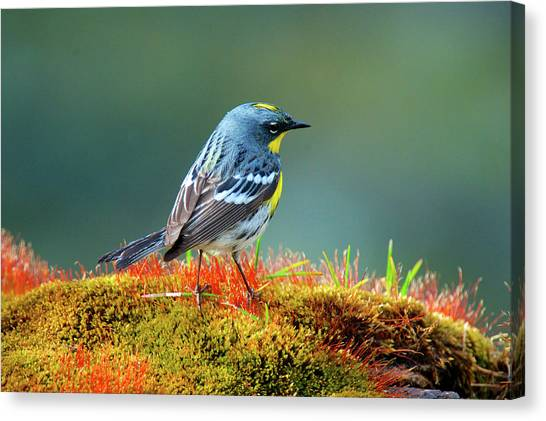Warblers Canvas Print - The Audubon's Warbler (setophaga by Richard Wright