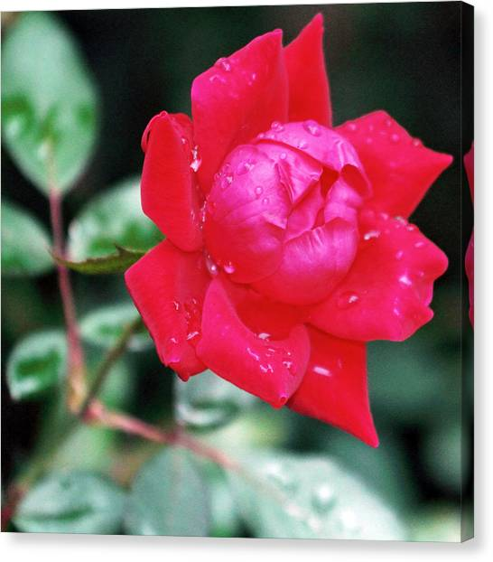 The Autumn Rose Canvas Print