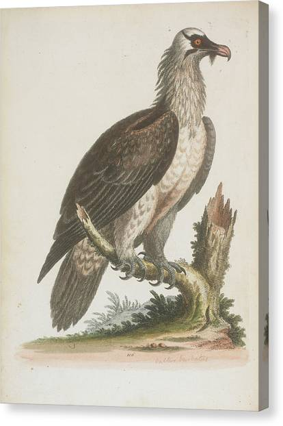 Vultures Canvas Print - The Bearded Vulture by British Library