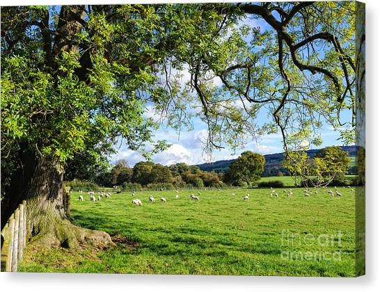 The Beautiful Cheshire Countryside - Large Oak Tree Frames A Field Of Lambs Canvas Print