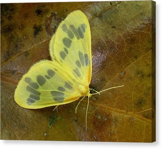 The Beggar Moth Canvas Print