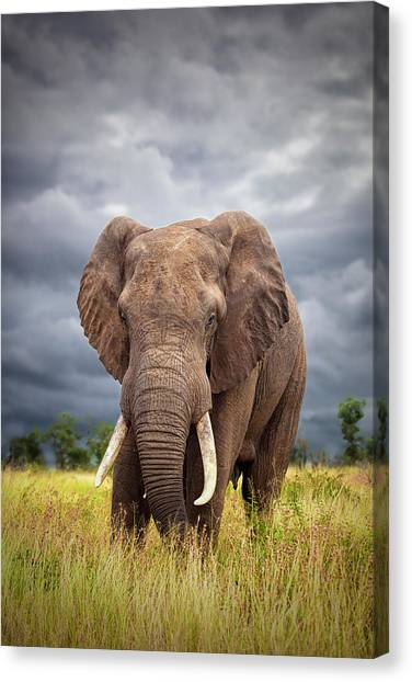 Bulls Canvas Print - The Big Bull by Mario Moreno