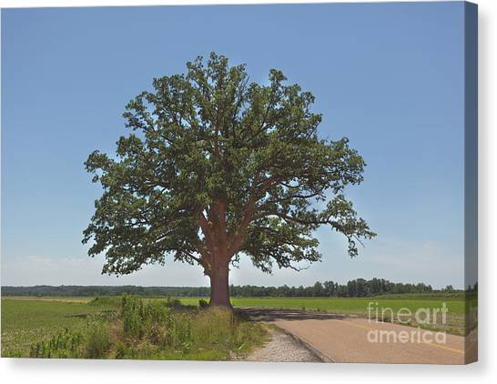 The Big Tree Canvas Print