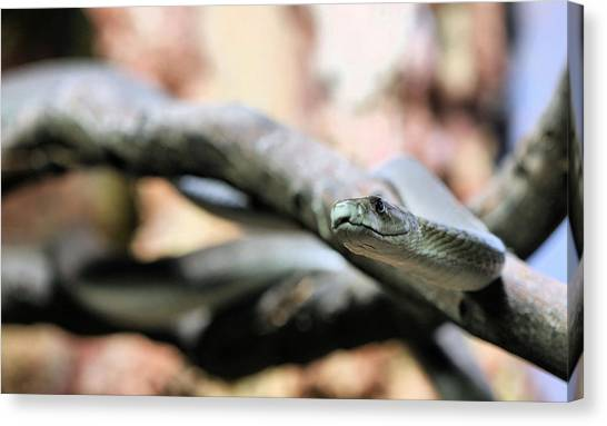 Black Mambas Canvas Print - The Black Mamba by JC Findley