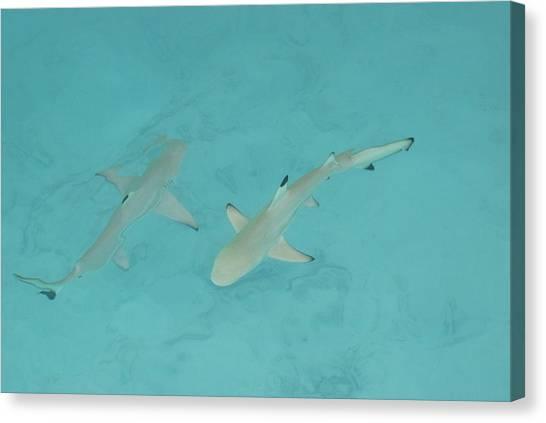 Black Tip Sharks Canvas Print - The Black Tip Sharks by Marco Battaglia