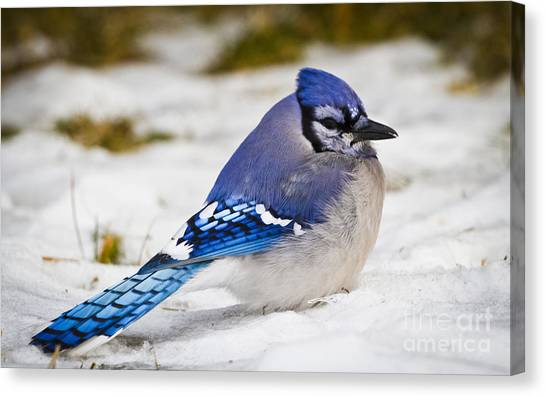 The Bluejay Canvas Print by Ricky L Jones