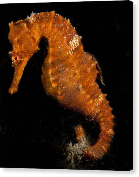 The Bright Orange Seahorse Canvas Print