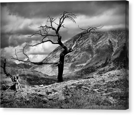 The Burmis Tree Canvas Print