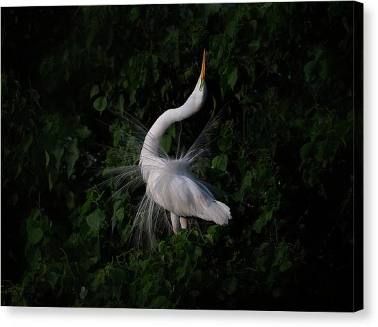 Egrets Canvas Print - The Call by Phillip Chang