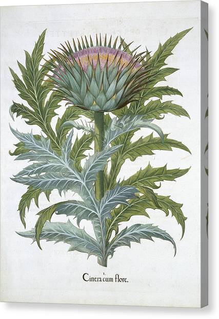 Artichoke Canvas Print - The Cardoon, From The Hortus by German School
