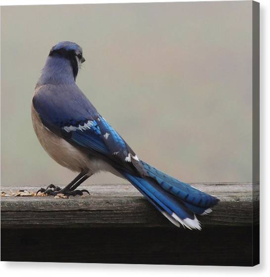 Bluejay Canvas Print - The Cold Shoulder by Mim White