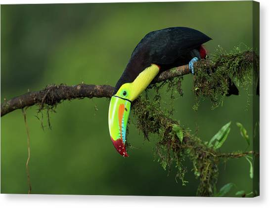 Toucan Canvas Print - The Colors Of Costa Rica by Fabio Ferretto