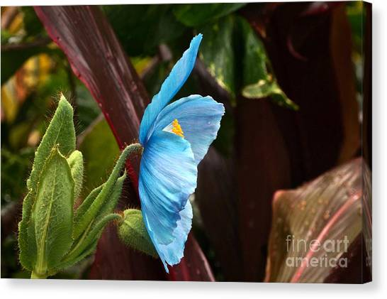 The Colors Of The Himalayan Blue Poppy Canvas Print