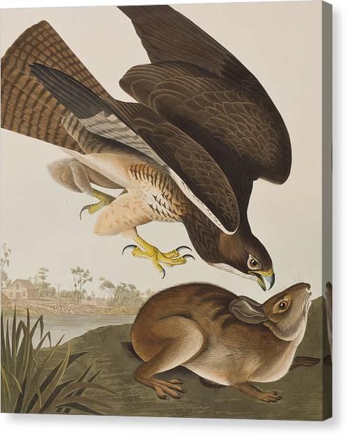 Buzzard Canvas Print - The Common Buzzard by John James Audubon