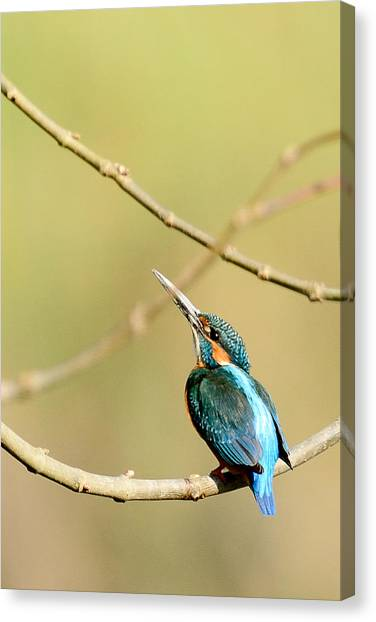 The Common Kingfisher Canvas Print