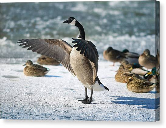 Geese Canvas Print - The Conductor by Rob Blair