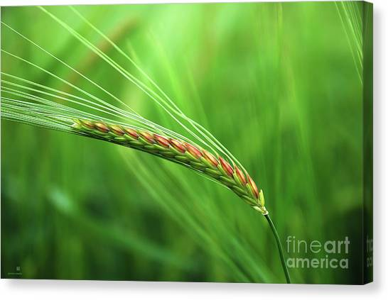 The Corn Canvas Print