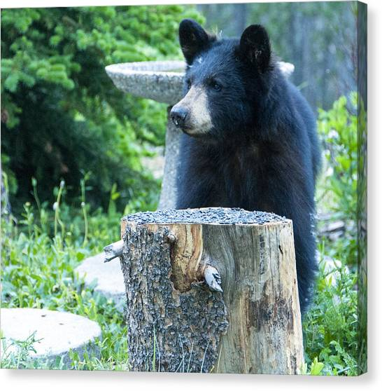 The Cub That Came For Lunch 2 Canvas Print
