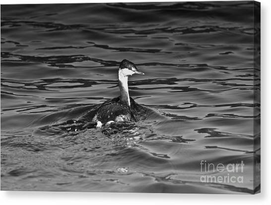 The Curious Grebe Canvas Print