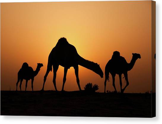 Camels Canvas Print - The Desert Ship by Ahmed Al-ibrahim