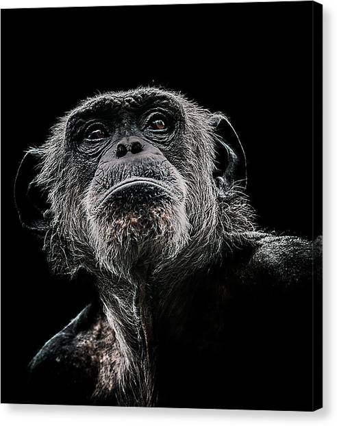 Chimpanzees Canvas Print - The Dictator by Paul Neville