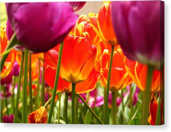 The Drooping Tulip Canvas Print