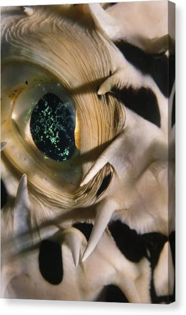 The Eye Of A Pufferfish Canvas Print