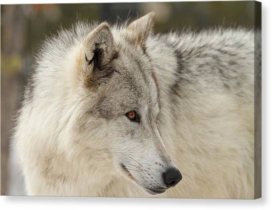 Arctic Wolf Canvas Print - The Eyes Have It by Sandy Sisti