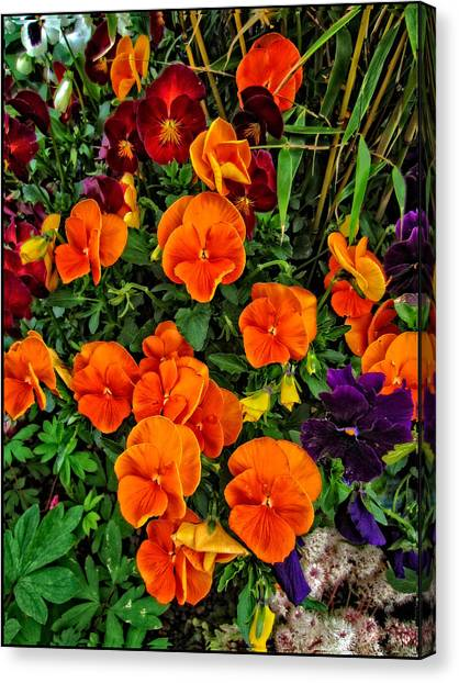 The Fall Pansies Canvas Print