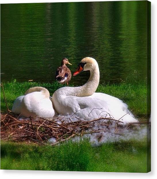 Swans Canvas Print - The Famous Romeo And Juliette Of by Joann Vitali