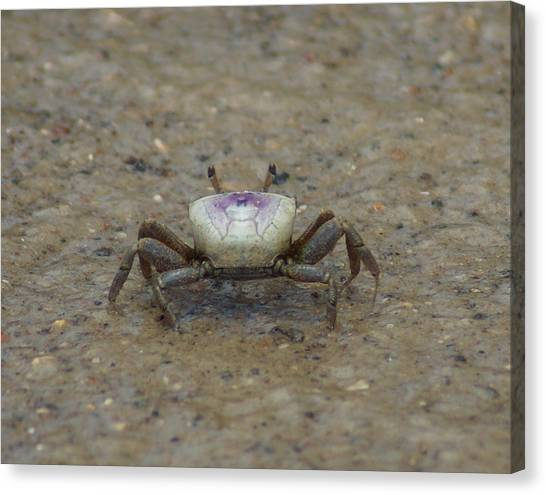 The Fiddler Crab On Hilton Head Island Canvas Print