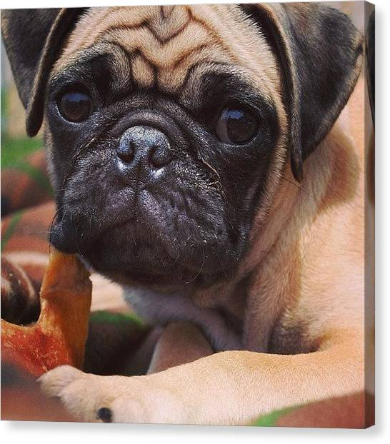 Pugs Canvas Print - The First Day I Brought My Baby by Kaitlyn Geez