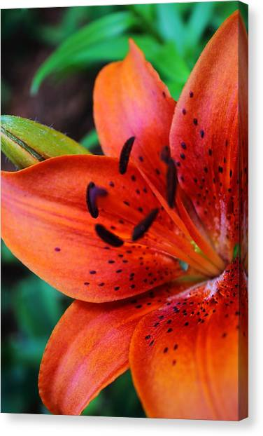 The First Lily Canvas Print