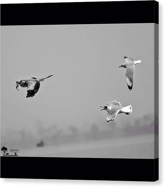 Herons Canvas Print - The Fish Stealer  The Gulls Are by Nayan Hazra