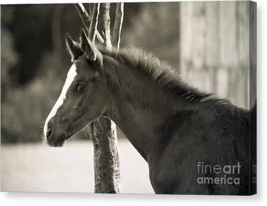 The Foal Canvas Print by Angel Ciesniarska