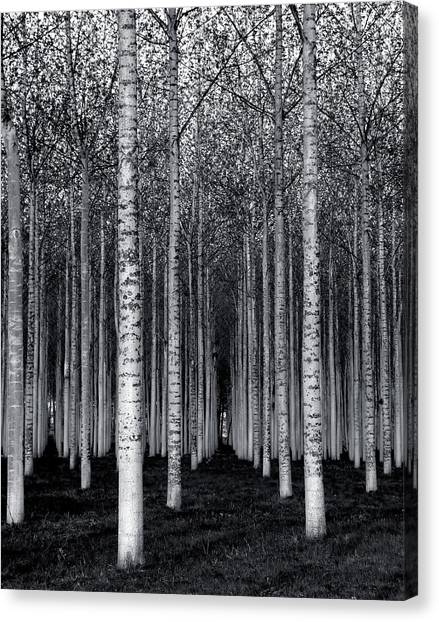 Birch Canvas Print - The Forest For The Trees by David Scarbrough