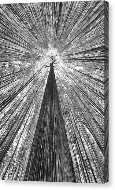 Tree Trunks Canvas Print - The Giant by Francois Casanova