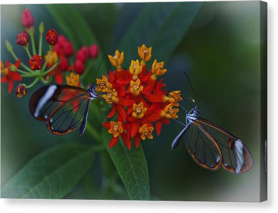 The Glasswinged Butterfly Canvas Print
