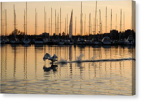 The Golden Takeoff - Swan Sunset And Yachts At A Marina In Toronto Canada Canvas Print