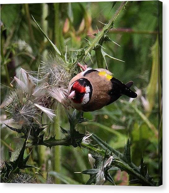 Finches Canvas Print - The #goldfinches Are Enjoying The by Miss Wilkinson